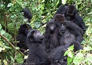 A Grauer's gorilla family in Kahuzi Biega National Park ...