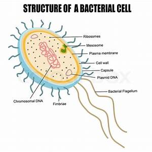 Structure Of A Bacterial Cell  Vector Illustration For