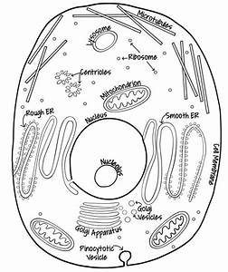 Simple Animal Cell Drawing At Getdrawings