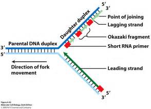 okazaki fragment replication of dna is semiconservative fig 4 29a