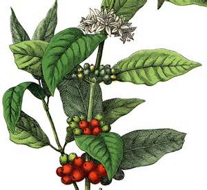 flowers for s day free stock image coffee plant the graphics fairy