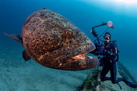 grouper goliath friendly deb menu fish scubaverse