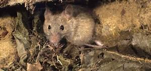 Comment Se Debarasser Des Taupes : comment se d barrasser des rats taupier sur la france ~ Melissatoandfro.com Idées de Décoration