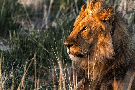 namibia lion animal arrogant    straight