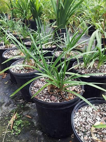 Agapanthus Plants Tropical Plant Exotic