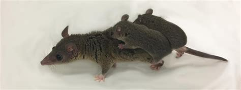 tailed opossum what marsupials taught us about embryo implantation could help women using ivf