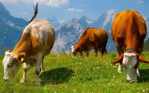 cows wallpapers pictures images
