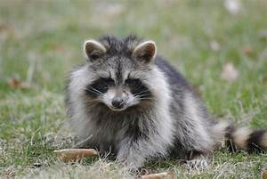 Do All Raccoon Carry Rabies? - Raccoon Removal Mississauga