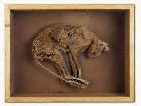 mummy cat finch co the curious and macabre mummified skeletons