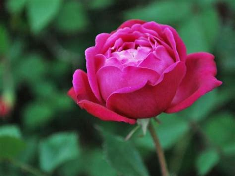 china rose united states botanic garden