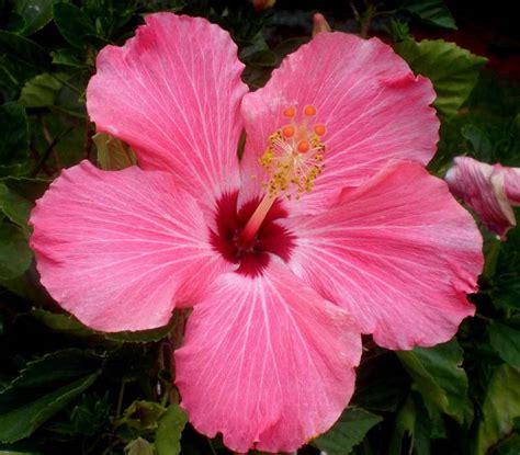 hibiscus care hibiscus flowers pictures pink hibiscus flower 2