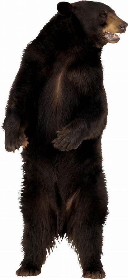 Bear Brown Transparent Polar Background Fur Pngimg