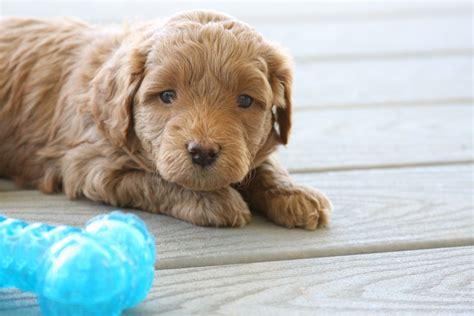fb mini goldendoodle puppies  sale
