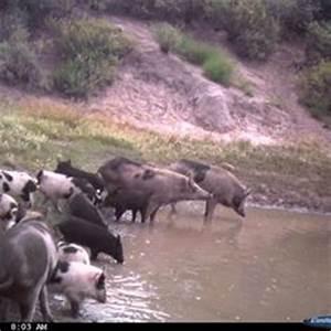The wild pig (Sus scrofa), also called the wild hog, wild ...