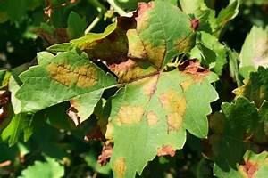Glanzmispel Rote Blätter Fallen Ab : weinrebe diese krankheiten k nnen sie befallen ~ Lizthompson.info Haus und Dekorationen