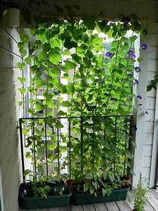 Pflanzen Für Sichtschutz : gr ner sichtschutz f r den balkon oder terrasse garten terrasse balkon pinterest gr ne ~ Sanjose-hotels-ca.com Haus und Dekorationen