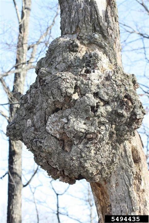 tree problems diagnosis oak texas plant disease handbook