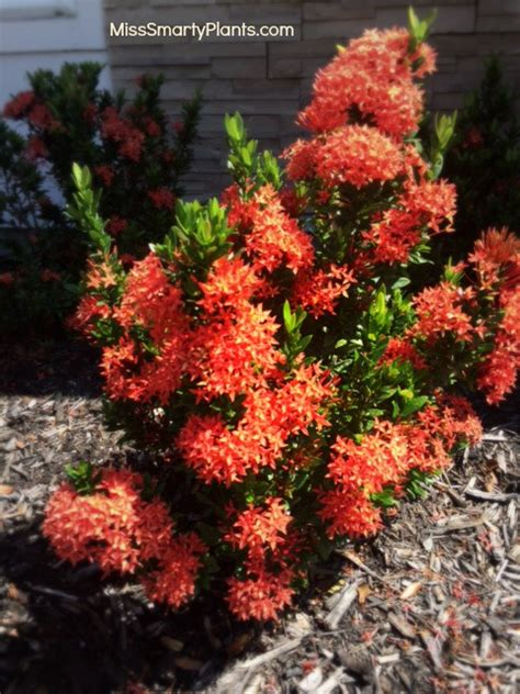 flowering hedges florida ixora hedges beyond the basics miss smarty plants