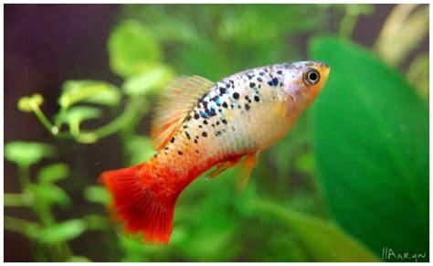platy types bing images platy fish aquarium fish