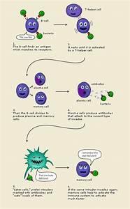 Basic Function Of Adaptive Immune System