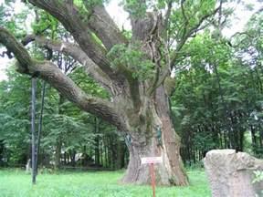 Bartek Oak Tree Poland