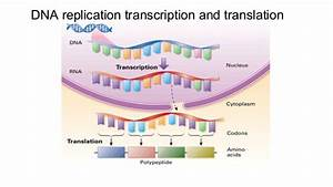 Dna Replication Transcription And Translation