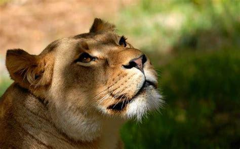 taman safari cisarua tiket atraksi satwa oktober