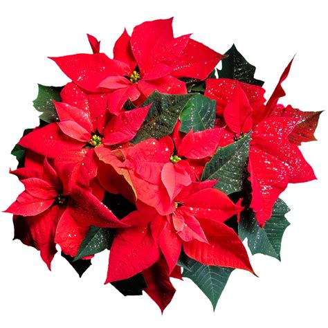 caring for poinsettias how to care for poinsettias this holiday season garden pics and tips
