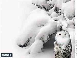 fond d39ecran harfang des neiges With forum plan de maison 12 fond decran paysage feerique
