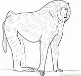 Baboon Designlooter Chacma Coloringpages101 sketch template