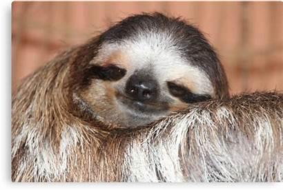Sloth Buttercup Canvas Prints Bock Carol Transparent