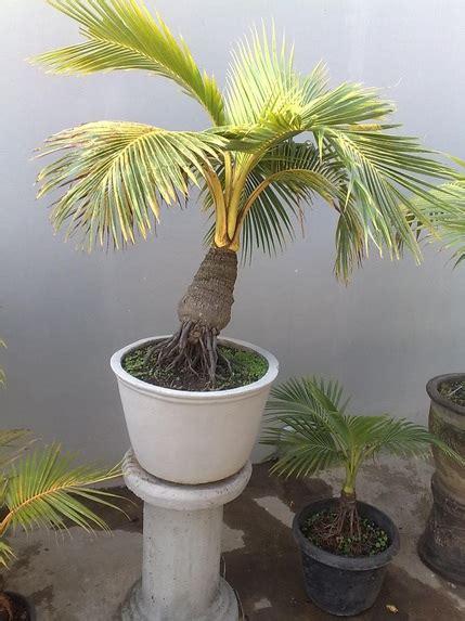 ragam jenis tanaman bonsai paling cantik yang memiliki