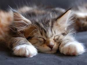 Cute Maine Coon Kitten Sleeping Wallpaper-HD - Free