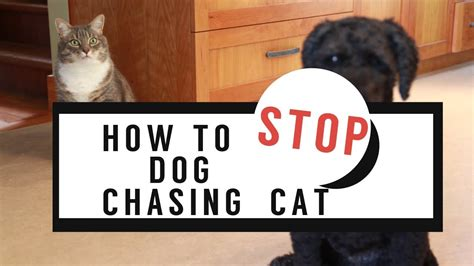 stop dog chasing  cat youtube