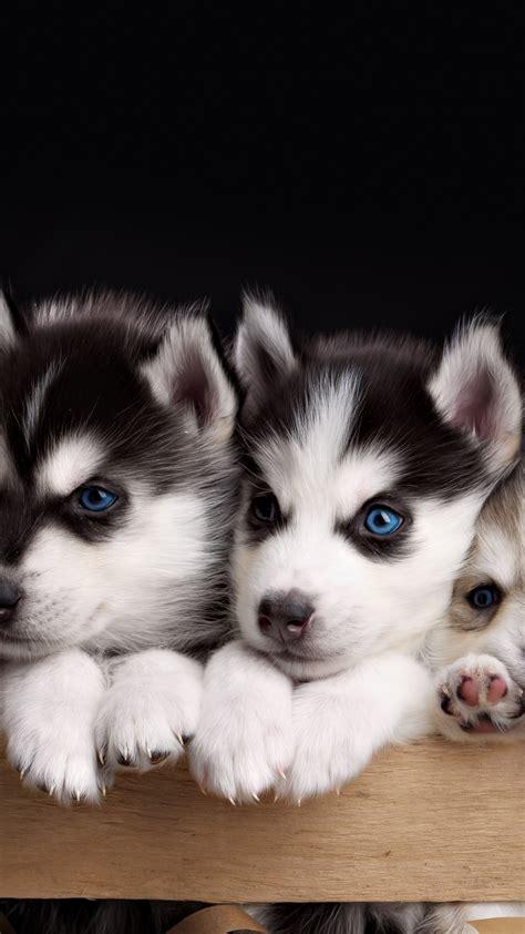 wallpaper husky puppy cute animals  animals