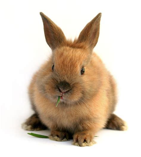 rabbit breeds rabbit breeders