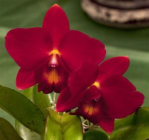 183 best images about Black & Red Orchid on Pinterest