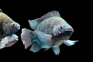 Fishing out the details of how tilapia tolerate salt