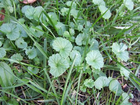 how to identify garden weeds how to identify common lawn weeds how tos diy