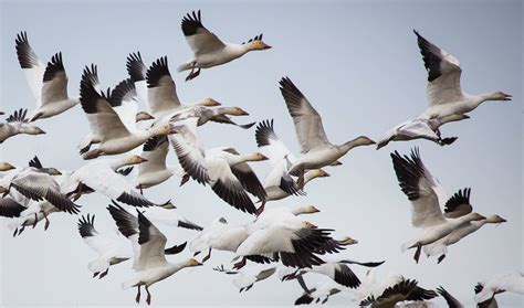 This Year's Snow Goose Festival Is Canceled, But Geese
