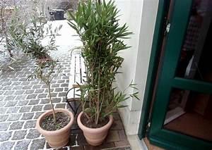 Welche Blumen Blühen Im Winter Draußen : olivenb umchen berwintern ~ Watch28wear.com Haus und Dekorationen
