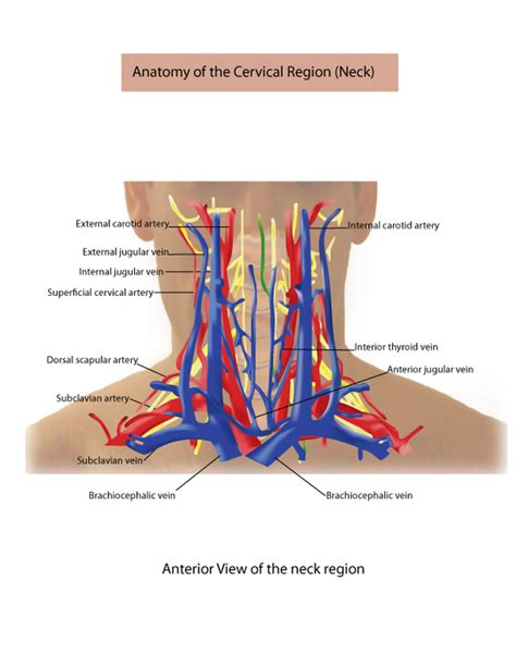 Common carotid arteries travel superiorly in the neck in the carotid sheath in. Medical Illustration on Behance