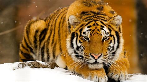 siberian tiger  snow  hd desktop wallpaper