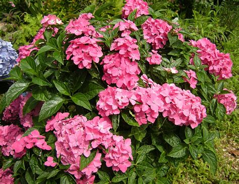 Summerflowering Shrubs