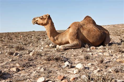 Desert Camel Sitting