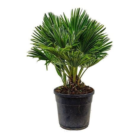 best house plants chamaerops humilis x florastore