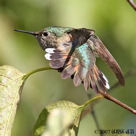western hummingbirds in the east set your feeders out