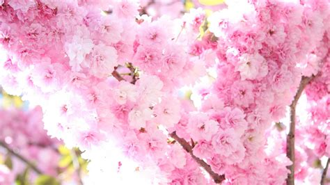 Cherry Blossom Wallpaper Anime Hd Hintergrundbilder Blüte Sakura Blüten Rosa Zart Desktop Hintergrund