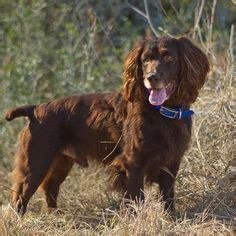 1000 images about boykin spaniel on pinterest boykin