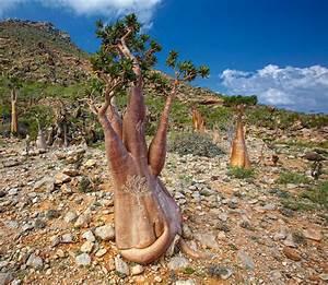 Most, Alien, Place, On, Earth, Socotra, Island, In, Yemen